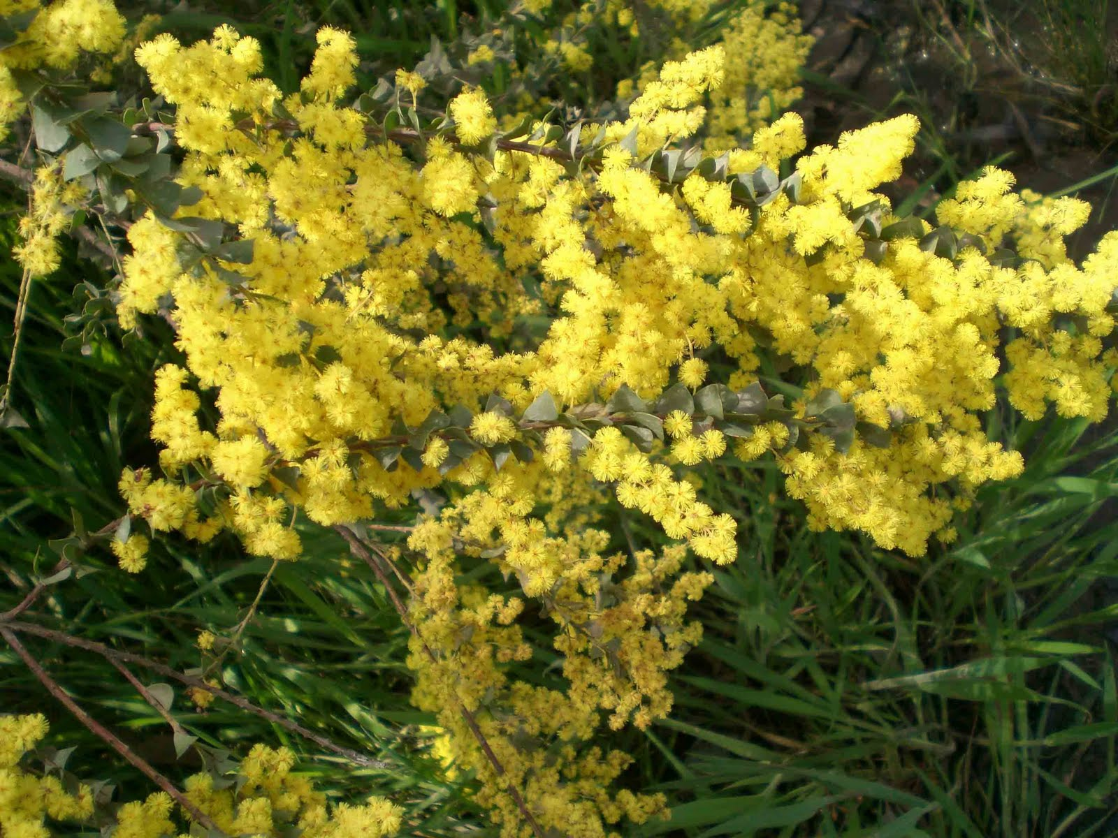 Insecticidal property of acacia seeds and