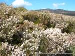 Common Fringe-myrtle Calytrix tetragona