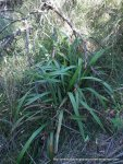 Tasman Flax-lily (Dianella tasmanica)
