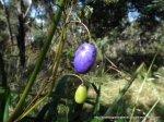 Tasman Flax-lily fruit