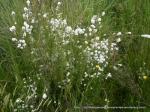 Epacris breviflora 2