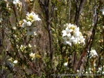 Epacris breviflora 3