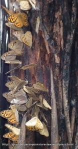 Common Brown Butterfly Heteronympha merope