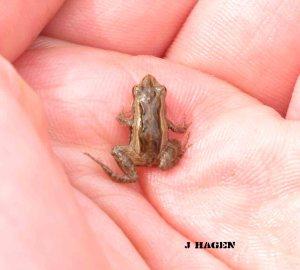 Common Froglet (Crinia signifera)