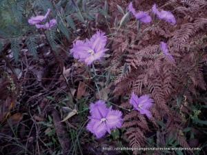 Common Fringe-lily Thysanotus tuberosus