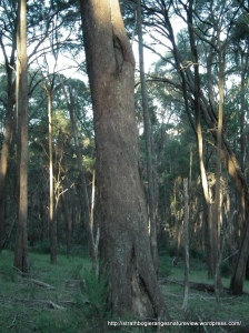E. radiata forest, Strathbogies.