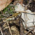 Wandering Percher (Diplacodes bipunctata)