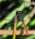 Eastern Pygmyfly (Nannophya dalei)