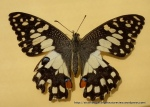 Chequered Swallowtail (Papilio demoleus) upperwing