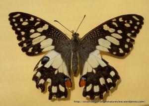 Chequered Swallowtail (Papilio demoleus) upperwing