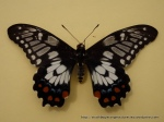 Dainty Swallowtail (Papilio anactus) upper wing