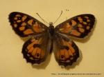Klug's Xenica (Geitoneura klugii klugii) upperwing