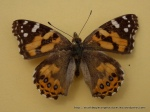 Painted Lady (Vanessa kershawi) underwing