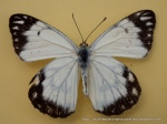 Caper White (Anaphaeis java teutonia) male upperwing