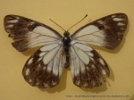 Caper White (Anaphaeis java teutonia) female upperwing