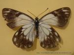 Caper White (Anaphaeis java teutonia) female upperwing