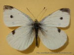 Cabbage White (Pieris rapae rapae) upperwing