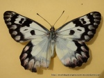 Wood White (Delias aganippe) upperwing