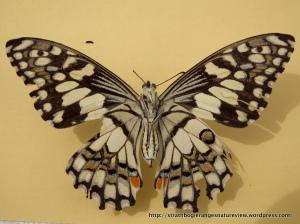Chequered Swallowtail (Papilio demoleus) underwing