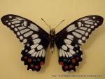 Dainty Swallowtail (Papilio anactus) under wing