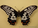 Dainty Swallowtail (Papilio anactus) under wing