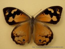 Common Brown (Heteronympha merope merope) female upperwing