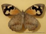 Common Brown (Heteronympha merope merope) female underwing