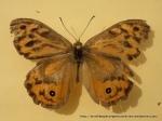 Common Brown (Heteronympha merope merope) male upperwing