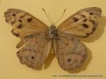 Common Brown (Heteronympha merope merope) male underwing