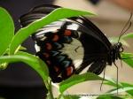 Orchard Swallowtail (Papilio aegeus)