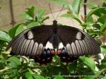 Orchard Swallowtail Papilio aegeus