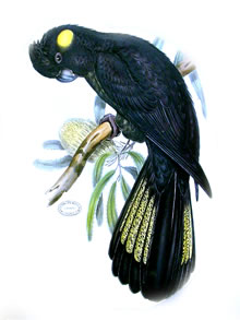 Yellow-tailed Black-cockatoo (John Gould).
