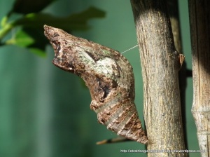 Orchard Swallowtail chrysalis