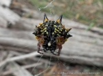Jewel or Christmas Spider, Austracantha minax (Boho South)