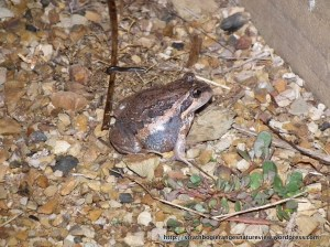 Pobblebonk, Banjo Frog Lymnodynastes dumerli, adult