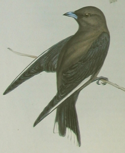 Dusky Wood-swallow John Gould