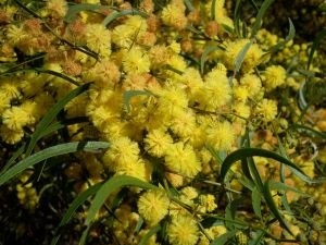 Varnish Wattle (A. verniciflua)