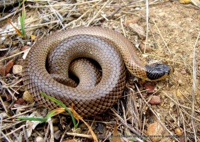 Little Whip Snake