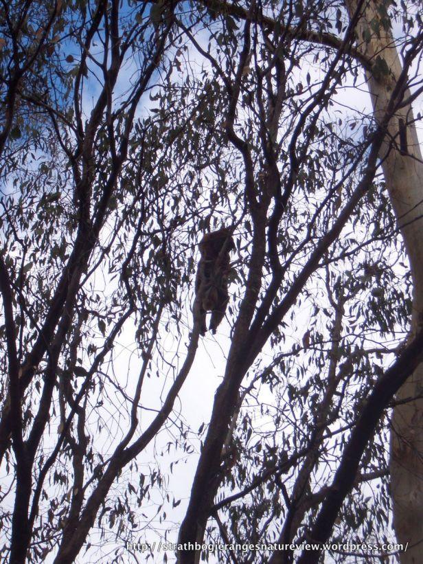 Koalas: the risks of living in the trees.