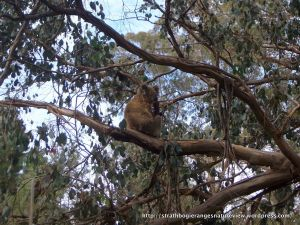 Koala in a Mountain Swamp Gum.