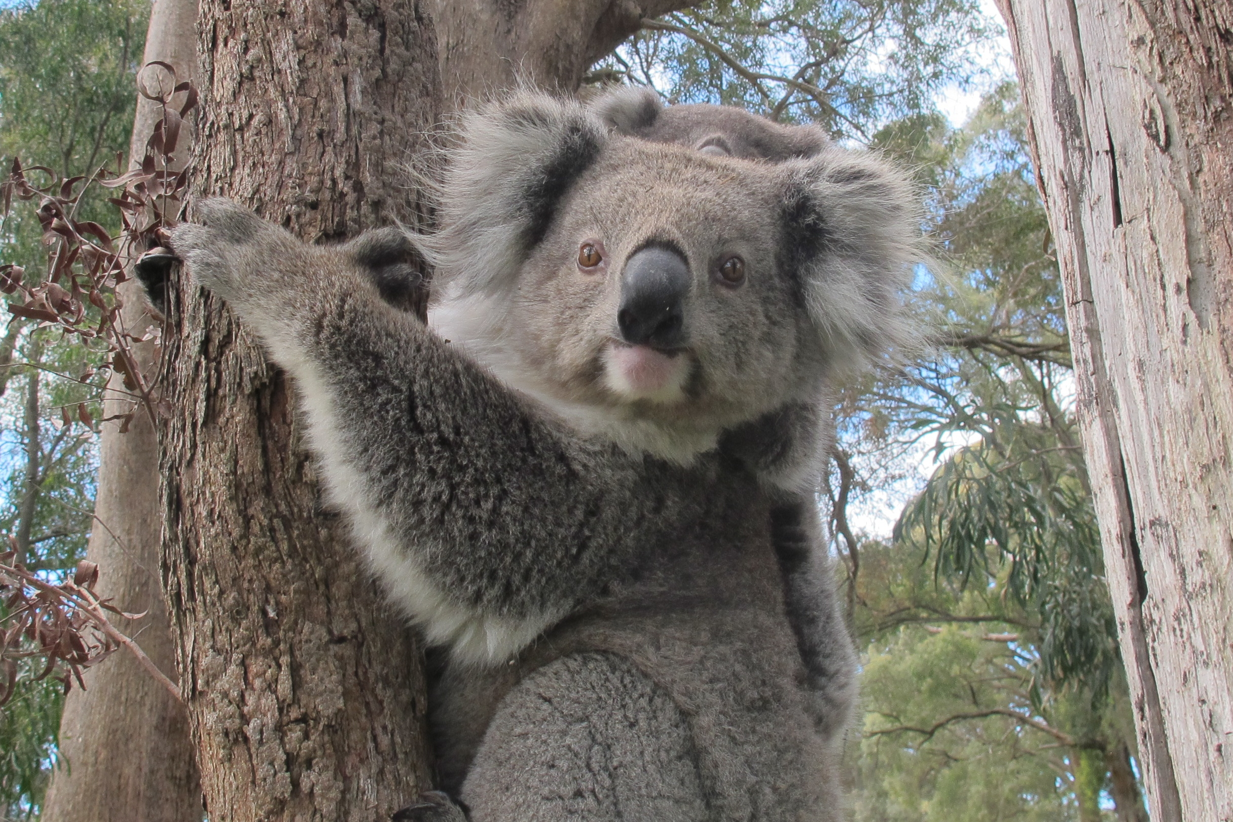 angry wet koala bear