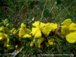 Hoary Guinea-flower, Hibbertia obtusifolia.