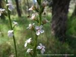 Grass Trigger Plant, Stylidium graminifolium.