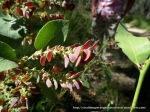 Hop Bitter-pea, Daviesia latifolia, developing seed pods.