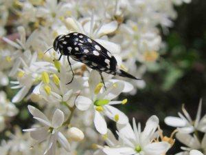 Pintail, or Tumbling Flower Beetle (Hoshihananomia sp)