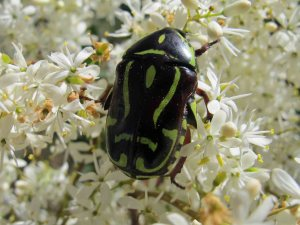 Fiddle Beetle (Eupoecila australasiae)