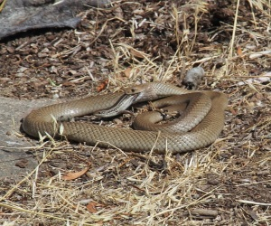 Eastern Brown Snake eats Large Striped Skink