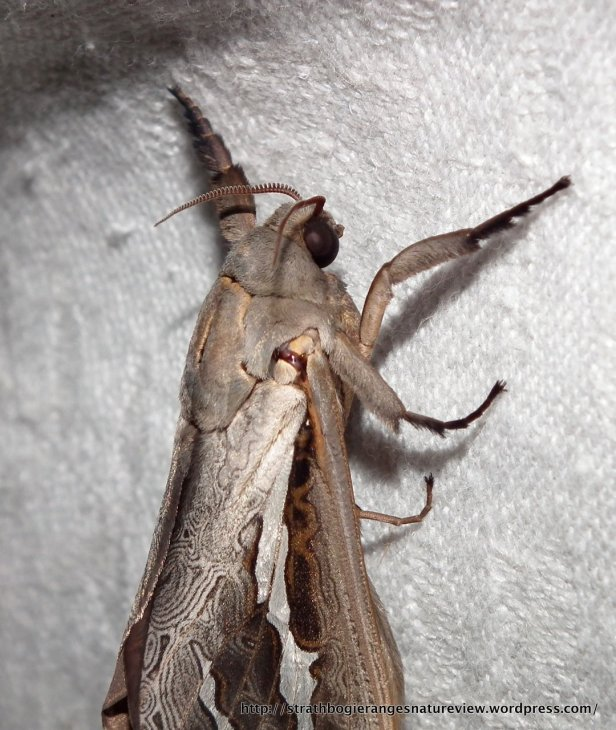 Ghost Moth - close-up.