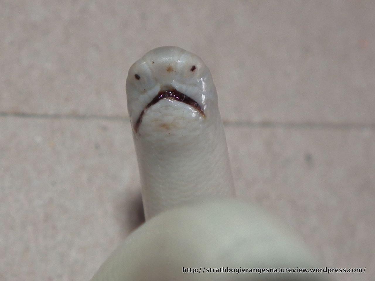 Blind Snakes Eine Neue Schlange Aus Mexiko Zooskop