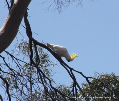 Big & noisy - Sulphur-crested Cockatoo.